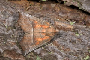 IN-0164 The Herald moth