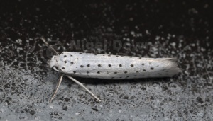 IN-0166 Bird-cherry ermine moth