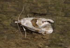 IN-0169 Tortricid moth