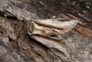 IN-0172 Lesser swallow Prominent moth