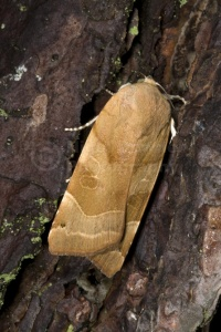 IN-0174 Broad-bordered yellow underwing moth