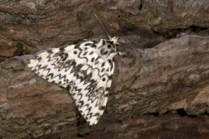 IN-0175 Black arches moth