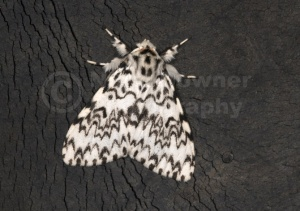 IN-0176 Black arches moth