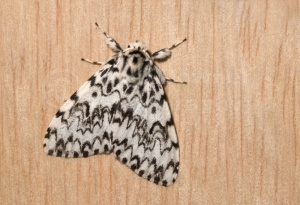 IN-0177 Black arches moth