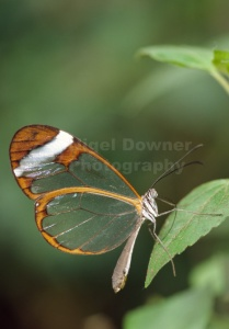 IN-0178 Glasswing butterfly
