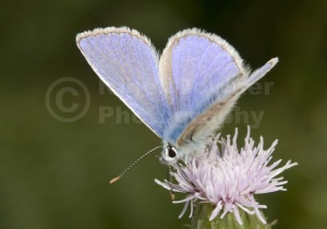 IN-0180 Common blue butterfly