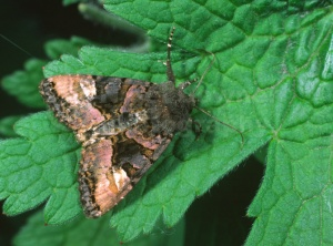 IN-0184 Small angle shades moth