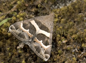 IN-0185 Grammodes moth