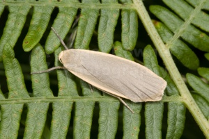 IN-0188 Dingy footman moth