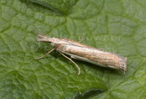 IN-0191 Grass moth