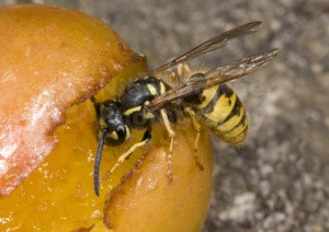 IN-0192 Common wasp