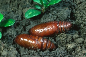 IN-0197 Ground beetle pupae unearthed