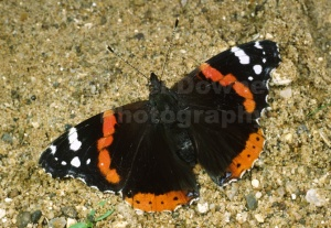 IN-0206 Red admiral butterfly