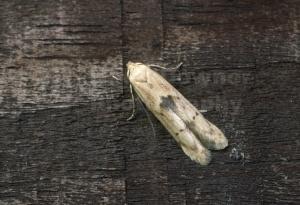 IN-0208 Micro moth