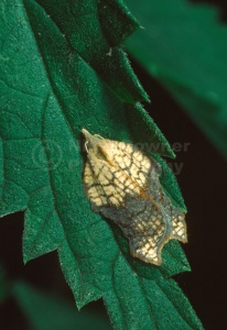 IN-0212 Tortricid moth