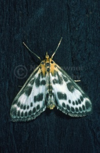 IN-0213 Small Magpie moth