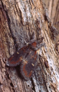 IN-0214 Iron Prominent moth