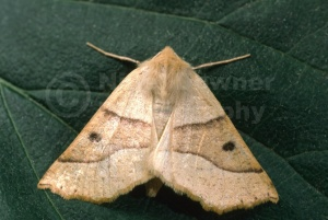 IN-0220 Scalloped Oak moth