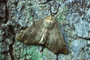 IN-0222 Scalloped Hazel moth