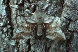 IN-0223 Poplar Hawk-moth