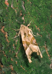 IN-0225 Angle Shades moth