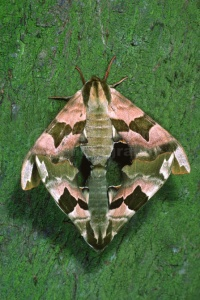 IN-0227 Lime Hawkmoths