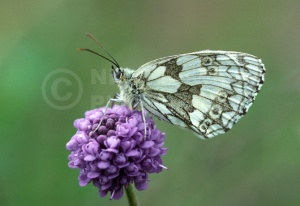 IN-0229 Marbled White butterfly
