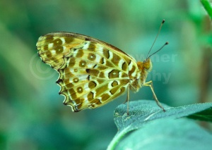 IN-0235 Giant Asian Fritillary butterfly