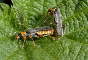 IN-0245 Soldier beetles