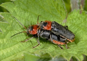 IN-0246 Soldier beetles