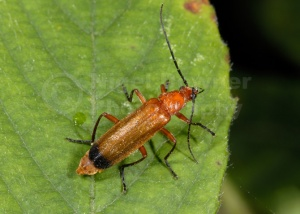 IN-0247 Soldier beetle