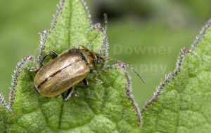 IN-0251 Leaf beetle