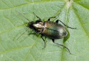 IN-0255 Ground beetle