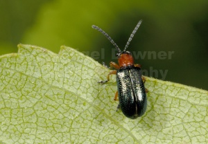 IN-0256 Leaf beetle
