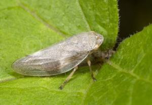 IN-0259 Froghopper