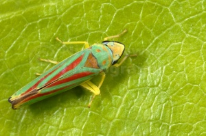IN-0260 Rhododendrom leafhopper