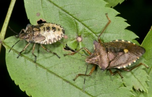IN-0268 Forest bugs, adult and larva