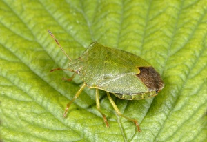 IN-0269 Green shieldbug