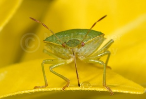 IN-0270 Green shieldbug