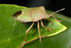 IN-0271 Green shieldbug