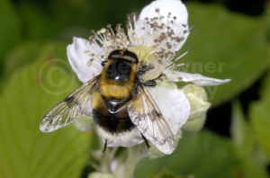 IN-0275 Hoverfly