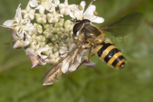 IN-0276 Hoverfly