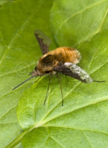 IN-0283 Bee-fly