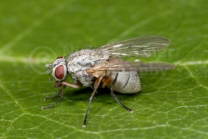 IN-0284 Kleptoparasitic fly