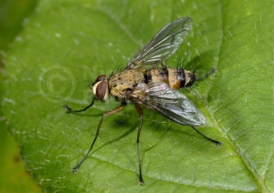 IN-0285 Parasitic fly