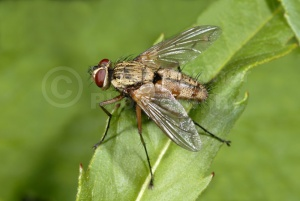 IN-0286 Parasitic fly