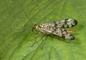 IN-0288 Scorpion fly