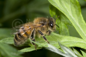 IN-0296 Honey bee