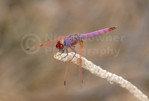 IN-0298 Violet dropwing dragonfly
