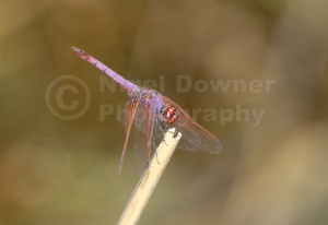 IN-0299 Violet dropwing dragonfly